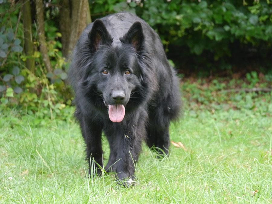 Blacky - Schutzhund im Dienst